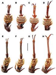Figure 12. Meladema species males, fore (A–D) and mesotarsi (E–H), ventral view (DNA voucher codes where applicable). A, E M. coriacea Spain, Cáceres, nr. Plasencia B, F M. lepidoptera sp. n. holotype, Corsica, Cap Corse (NHM-IRM12E) C, G M. imbricata, La Gomera, El Cedro (NMH-IRM3A) D, H M. lanio, Madeira, Rabacal. Scale bar = 1 mm.
