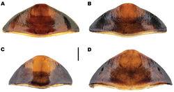 Figure 15. Meladema species females, abdominal ventrite 6 (DNA voucher codes where applicable). A M. coricaea, Spain, Murcia, Fte. Caputa B M. lepidoptera sp. n., Corsica, Cap Corse (NHM-IRM12C) C M. imbricata, La Palma, Bco. Hoyo Verde D M. lanio, Madeira, Ribeira dos Cedros (NHM-IRM9A). Scale bar = 1 mm.