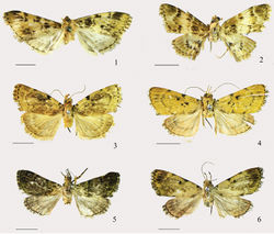 Figures 1–6. Adults. 1 Arcanusa apexiarcanusa Wang, Chen & Wu, sp. n., male, holotype 2 Ar. sinuosa (Moore, 1888), comb. n., male 3 Androconia rallusa Wang, Chen & Wu, sp. n., male, paratype 4 An. rallusa Wang, Chen & Wu, sp. n., female, paratype 5 An. morulusa Wang, Chen & Wu, sp. n., male, holotype 6 An. morulusa Wang, Chen & Wu, sp. n., female, paratype. Scale bars: 5.0 mm.