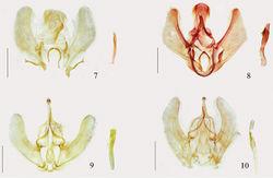 Figures 7–10. Male genitalia. 7 Arcanusa apexiarcanusa Wang, Chen & Wu, sp. n., holotype, gen. slide no. Ep537 8 Ar. sinuosa (Moore, 1888), comb. n., gen. slide no. Ep112 9 Androconia rallusa Wang, Chen & Wu, sp. n., holotype, gen. slide no. Ep680 10 An. morulusa Wang, Chen & Wu, sp. n., holotype, gen. slide no. Ep691. Scale bars: 1.0 mm.