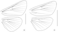 Figures 22–23. Venation. 22 Arcanusa sinuosa (Moore, 1888), comb. n. 23 Androconia rallusa Wang, Chen & Wu, sp. n. Scale bars: 5.0 mm.