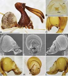 Figure 24. Eriauchenius legendrei (Platnick, 1991). A male (USNMENT01377217) habitus, lateral view B female (CASENT9012333) internal genitalia, dorsal view. C–I male pedipalpal bulbs D–F left bulb (CASENT9012333) C left bulb (CASENT9010074) G–I left bulb (USNMENT01377217): C cymbium close-up, dorsal view, arrow showing the small retrolateral cymbium protrusion that lacks setae D, G prolateral view E, H ventral view F, I retrolateral view. Scale bars: 1 mm (A); 0.25 mm (B, D).