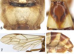 Figures 6–9. Rhynchobanchus flavomaculatus sp. n. Holotype. Female. 6 Propodeum 7 Wings 8 Tergite 2, dorsal view 9 Apical portion of metasoma, lateral view.