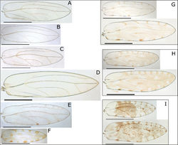 Figure 1. Fore wings of nine Swezeyana species: A S. elongagena (male) B S. oahuensis (male) C S. atra (male) D S. magna (male) E S. hawaiiensis (female) F S. magnaccai (male) G S. reticulata (male above, female below) H S. tentaculata (male above, female below) I S. rubra (male above, female below). Scale bars: 1 mm.