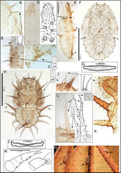Figure 12. Swezeyana reticulata and Swezeyana tentaculata 5th instar immatures. A–G, M S. reticulata: A detail of dorsal lanceolate setae with inflated and ridged bases anterior of eye B detail of dorsal sub-marginal lanceolate setae with inflated and ridged bases on margin of wing pads C detail of tubercles on margin of abdomen, and marginal narrow, blunt sectasetae D detail of dorsal tubercle bearing small simple setae, and small lanceolate setae with greatly inflated and ridged bases on surrounding surface E lateral view showing arrangement of dorsal tubercles, open arrows indicate position of thoracic and abdominal tubercles typically more darkly pigmented F dorsal view, open arrows indicate position of thoracic and abdominal tubercles typically more darkly pigmented G anal ring H–L, N S. tentaculata: H dorsal view, open arrows indicate position of thoracic and abdominal tentacles typically more darkly pigmented, inset detail of marginal pointed sectasetae I anal ring J, K detail of dorsal sub-marginal long, simple setae with narrowly inflated and ridged bases, K also shows different pigmentation for 1st and 2nd tentacle on abdomen margin L detail of long tentacle with simple setae towards the apex and a pair of small simple setae apically, and longer slightly capitate rod setae towards the base and on surrounding surface M tarsus and antenna (similar for both species) N red-brown S. tentaculata immatures found along the midribs on undersides of leaves among the red-brown leaf trichomes.