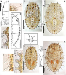 Figure 13. Swezeyana reticulata and Swezeyana tentaculata 1st-4th instar immatures. A–F S. reticulata: A 1st instar, inset detail of marginal narrow, blunt sectasetae B 2nd instar with appearance of tubercles C detail of 2nd instar anterior marginal and sub-marginal head setae D detail of 2nd instar marginal tubercles on the thorax bearing simple setae towards apices E 3rd instar, inset detail of marginal narrow, blunt sectasetae F 4th instar, inset detail of dorsal and sub-marginal lanceolate setae with inflated and ridged bases G–J S. tentaculata: G 4th instar, with details of marginal pointed sectasetae, and dorsal and sub-marginal simple setae with narrowly inflated and ridged bases H 3rd instar, with detail of larger dorso-medial tubercles bearing spiral of slightly capitate rod setae; marginal pointed sectasetae, and dorsal and sub-marginal simple setae with narrowly inflated and ridged bases as for 4th instar I detail of 3rd instar pairs of slightly capitate rod setae near the apices of marginal tubercles on the abdomen J detail of 3rd instar marginal pointed sectasetae, and dorsal sub-marginal simple setae.