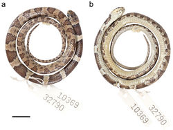 Figure 13. Adult female holotype of Dipsas oswaldobaezi QCAZ 10369 in a dorsal and b ventral view. Scale bar: 1 cm.