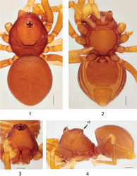 Figures 1–4. Ablemmaandriana sp. n., male. 1 Habitus, dorsal view. 2 Habitus, ventral view. 3 Carapace, frontal view. 4 Habitus, lateral view. Scale bar: 1.0 mm.