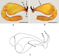 Figures 5–7. Ablemmaandriana sp. n., male. 5 Palp, prolateral view. 6 Palp, retrolateral view. 7 Schematic illustration of palpal bulb retrolateral view. Scale bar: 0.1 mm.