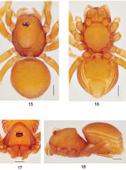 Figures 15–18. Ablemmacontrita sp. n., female. 15 Habitus, dorsal view. 16 Habitus, ventral view. 17 Carapace, frontal view. 18 Habitus, lateral view. Scale bar: 1.0 mm.