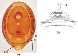Figures 19, 20. Ablemmacontrita sp. n., female. 19 Abdomen, ventral view. 20 Schematic illustration of genitalia, dorsal view. Scale bar: 0.1 mm.