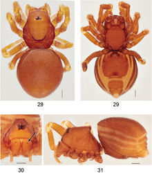 Figures 28–31. Ablemmasingalang Lehtinen, 1981, female. 28 Habitus, dorsal view. 29 Habitus, ventral view. 30 Carapace, frontal view. 31 Habitus, lateral view. Scale bar: 1.0 mm.
