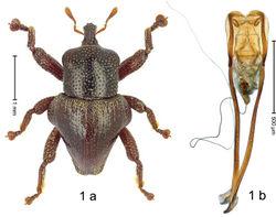 Figure 1. Trigonopterus abnormis Riedel, sp. n., holotype; a habitus b penis.