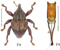 Figure 2. Trigonopterus adspersus Riedel, sp. n., holotype; a habitus b penis.