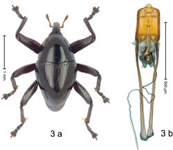 Figure 3 . Trigonopterusallotopus Riedel, Kolaka (ARC3164); a habitus b penis.