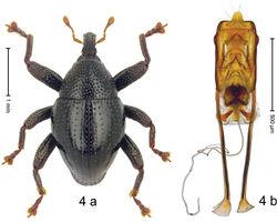 Figure 4. Trigonopterus ambangensis Riedel, sp. n., holotype; a habitus b penis.