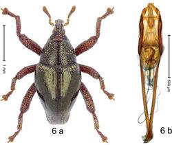 Figure 6. Trigonopterus analis Riedel, sp. n., holotype; a habitus b penis.