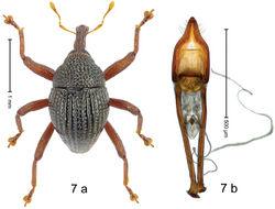 Figure 7 . Trigonopterus arachnobas Riedel, sp. n., holotype; a habitus b penis.