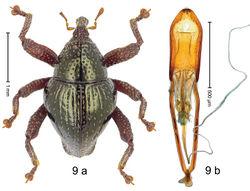 Figure 9. Trigonopterus artemis Riedel, sp. n., holotype; a habitus b penis.