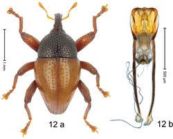 Figure 12. Trigonopterus bonthainensis Riedel, sp. n., holotype; a habitus b penis.