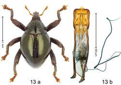 Figure 13. Trigonopterus carinirostris Riedel, sp. n., holotype; a habitus b penis.