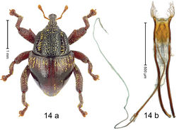 Figure 14. Trigonopterus castaneipennis Riedel, sp. n., holotype; a habitus b penis.
