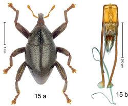 Figure 15. Trigonopterus celebensis Riedel, sp. n., holotype; a habitus b penis.