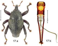 Figure 17. Trigonopterus collaris Riedel, sp. n., holotype; a habitus b penis.