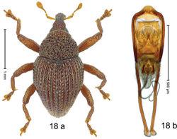 Figure 18. Trigonopterus costatulus Riedel, sp. n., holotype; a habitus b penis.