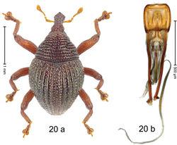 Figure 20. Trigonopterus crenulatus Riedel, sp. n., holotype; a habitus b penis.
