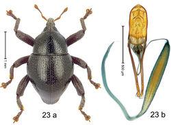 Figure 23. Trigonopterus ejaculatorius Riedel, sp. n., holotype; a habitus b penis.