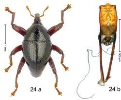 Figure 24. Trigonopterus fuscipes Riedel, sp. n., holotype; a habitus b penis.