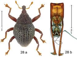 Figure 28. Trigonopterus humilis Riedel, sp. n., holotype; a habitus b penis.