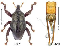 Figure 39. Trigonopterus kolakensis Riedel, sp. n., holotype; a habitus b penis.
