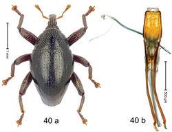Figure 40. Trigonopterus kotamobagensis Riedel, sp. n., holotype; a habitus b penis.