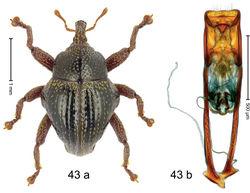 Figure 43. Trigonopterus latipennis Riedel, sp. n., holotype; a habitus b penis.
