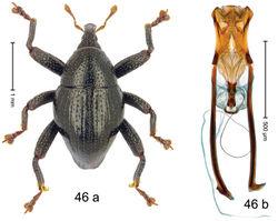 Figure 46. Trigonopterus mahawuensis Riedel, sp. n., holotype; a habitus b penis.