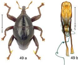 Figure 49. Trigonopterus matalibaruensis Riedel, sp. n., holotype; a habitus b penis.