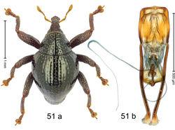 Figure 51. Trigonopterus minahassae Riedel, sp. n., holotype; a habitus b penis.