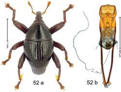 Figure 52. Trigonopterus moatensis Riedel, sp. n., holotype; a habitus b penis.