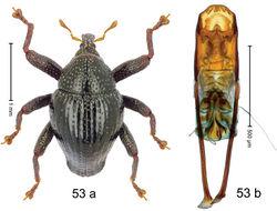 Figure 53. Trigonopterus modoindingensis Riedel, sp. n., holotype; a habitus b penis.