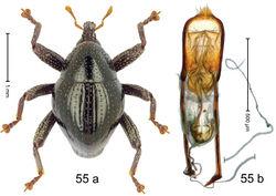 Figure 55. Trigonopterus nitidulus Riedel, sp. n., holotype; a habitus b penis.