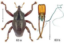 Figure 63. Trigonopterus pendolensis Riedel, sp. n., holotype; a habitus b penis.
