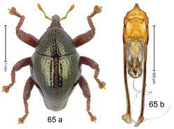Figure 65. Trigonopterus prismae Riedel, sp. n., holotype; a habitus b penis.