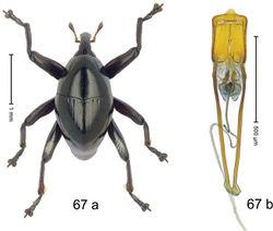 Figure 67. Trigonopterus pseudallotopus Riedel, sp. n., holotype; a habitus b penis.