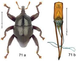 Figure 71. Trigonopterus pseudofulvicornis Riedel, sp. n., holotype; a habitus b penis.