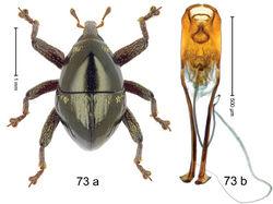 Figure 73. Trigonopterus pseudosimulans Riedel, sp. n., holotype; a habitus b penis.