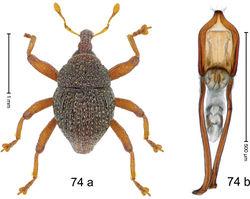Figure 74. Trigonopterus pumilus Riedel, sp. n., holotype; a habitus b penis.