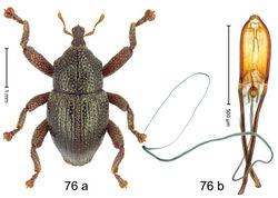 Figure 76. Trigonopterus reticulatus Riedel, sp. n., holotype; a habitus b penis.