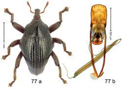 Figure 77. Trigonopterus rhombiformis Riedel, sp. n., holotype; a habitus b penis.